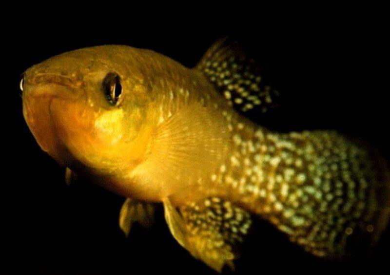 کشف ماهی مقاوم به آلودگی