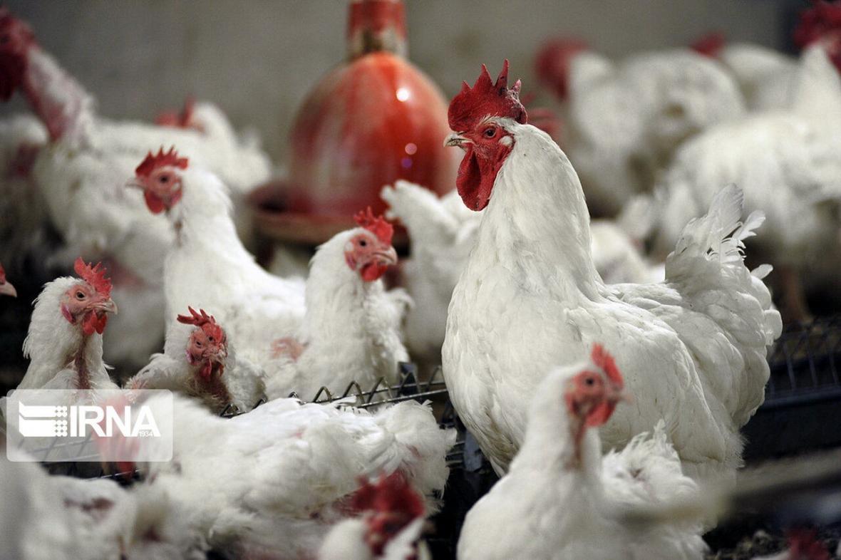 قیمت مرغ کاهش یافت، فروش همچنان بالاتر از نرخ مصوب