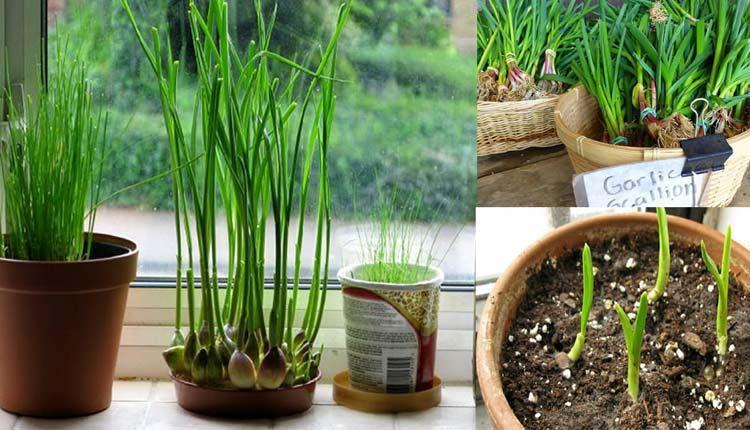 کاشت سیر در گلدان ؛ مراحل کاشت، روش نگهداری، نحوه و زمان برداشت